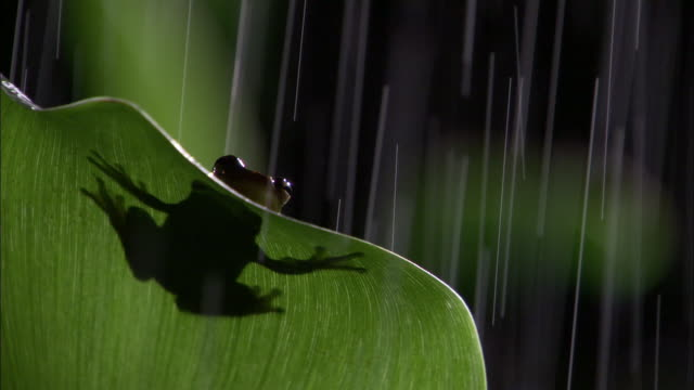 vídeos de stock e filmes b-roll de tree frog on leaf in rain, costa rica - one animal