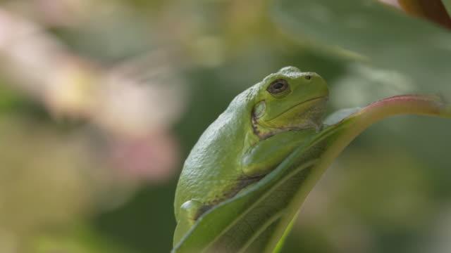 Tree frog on leaf, tight shot