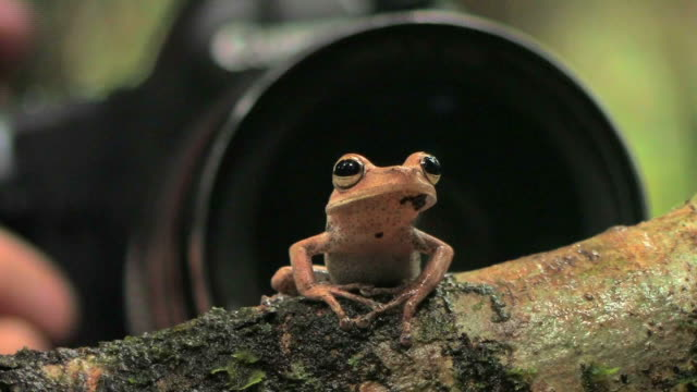 CU Tree frog perching on branch near person holding camera lens while ant crawls across branch in Manu National Park / Peru
