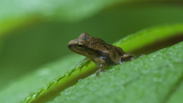 Tree frog straddles two leaves, small movement