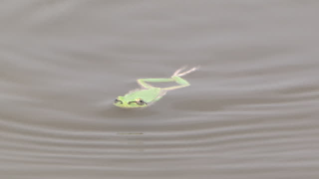 A Tree Frog Swimming
