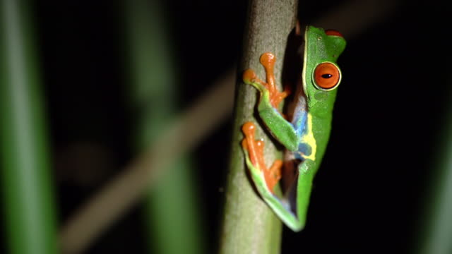 ms tree frog - endangered species stock videos & royalty-free footage