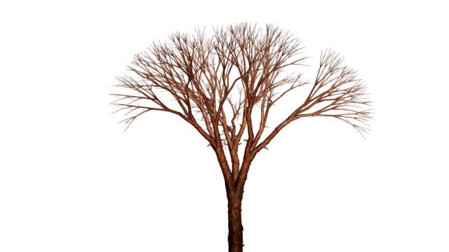 a tree grows to leafless maturity. - 枝点の映像素材/bロール