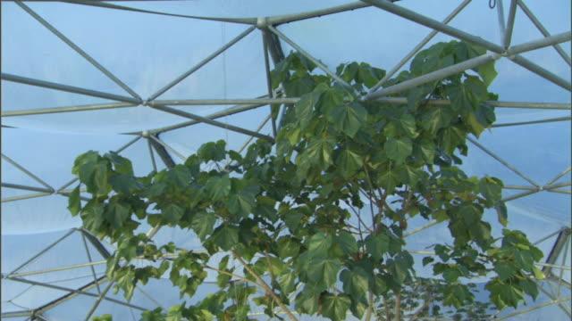 vídeos y material grabado en eventos de stock de a tree in a rainforest grows to the beams of the ceiling in the dome at the eden project. - cornwall inglaterra