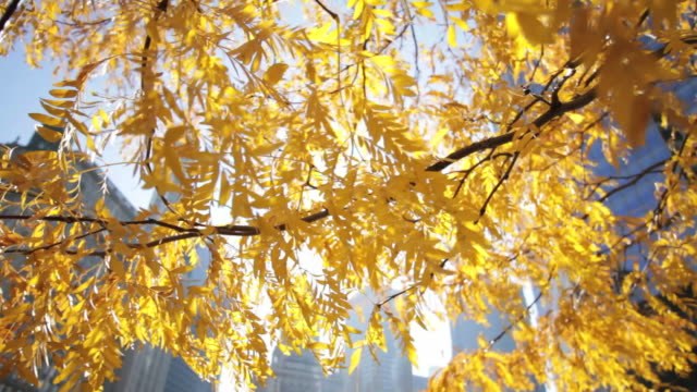 tree in fall chicago, usa - illinois stock videos & royalty-free footage