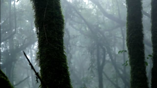 tree in foggy forest in doi inthanon chiang mai province thailand - tropical tree stock videos & royalty-free footage