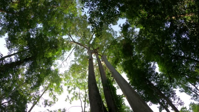tree in forest looking up with blue sky - tree canopy stock videos & royalty-free footage