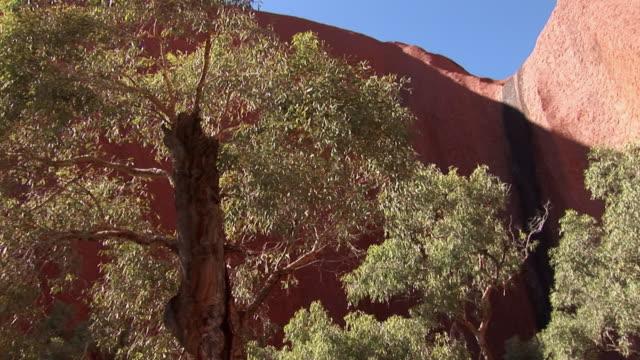 MS Tree in front of Ayers Rock (Uluru) with markings of waterfall, Uluru-Kata Tjuta National Park, Northern Territory, Australia