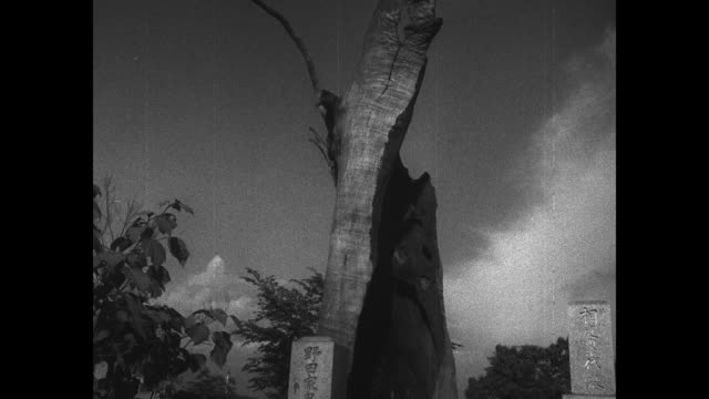 VS tree in Hiroshima that survived WWII atomic bombing but on which no leaf will grow / sign on building 'Atomic Bomb Victim No 1 Shop of Kikkawa'...