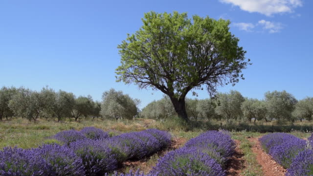 tree in lavender field - provence alpes cote d'azur stock videos & royalty-free footage
