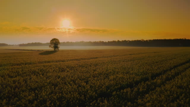 aerial tree in the canola field at sunset - single tree stock videos & royalty-free footage