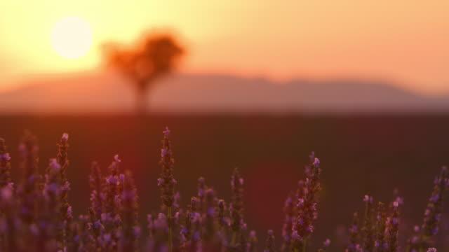 ds-baum in der ferne eines lavendelfeldes - region provence alpes côte d'azur stock-videos und b-roll-filmmaterial