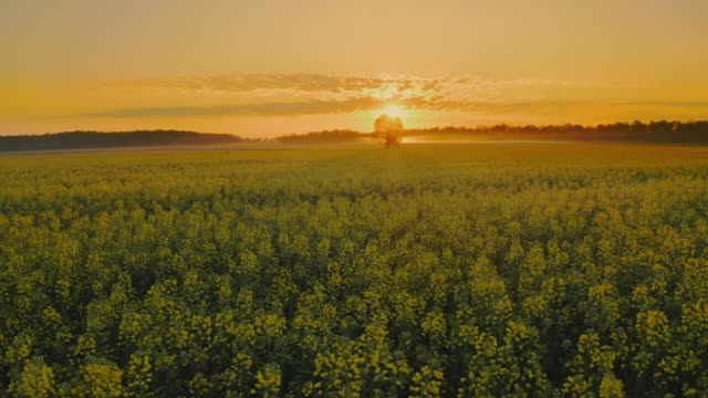 aerial tree in the middle of a canola field - tower stock videos & royalty-free footage
