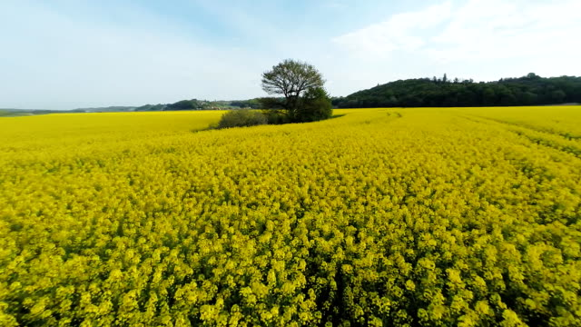 HD HELI: Tree In The Middle Of A Canola Field