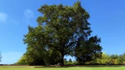 Tree in three seasons timelapse