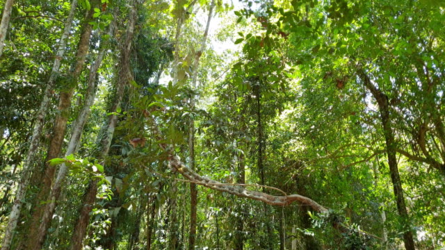 tree in tropical rain forest. - tropical tree stock videos & royalty-free footage