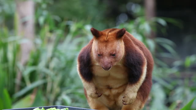 tree kangaroo - papua stock videos and b-roll footage
