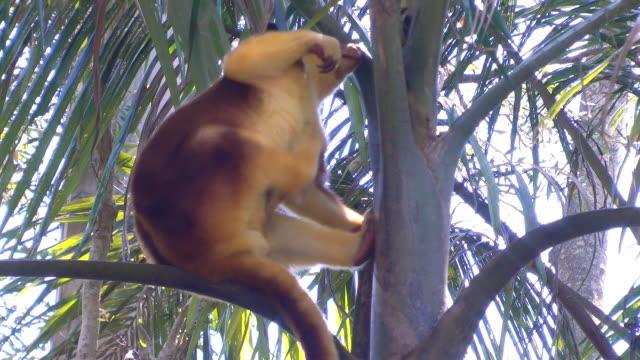vídeos y material grabado en eventos de stock de árbol kangaroo - mamífero