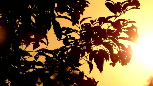träd blad vid solnedgången - varmt ljus bildbanksvideor och videomaterial från bakom kulisserna
