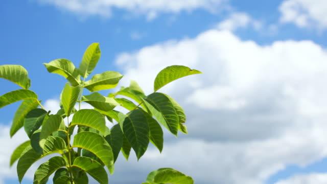 HD: Baum leafs auf wind