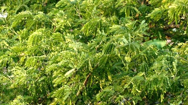 Baum-Blätter im wind