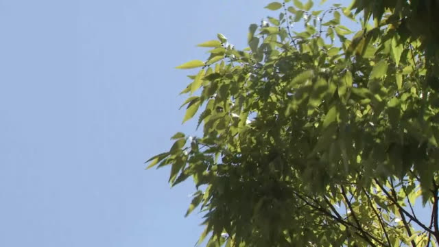 tree leaves swaying in wind under blue sky, niigata, japan - schwanken stock-videos und b-roll-filmmaterial