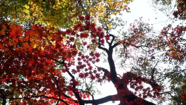 tree leaves turning red / seoraksan mountain, gangwon-do, south korea - red stock videos & royalty-free footage