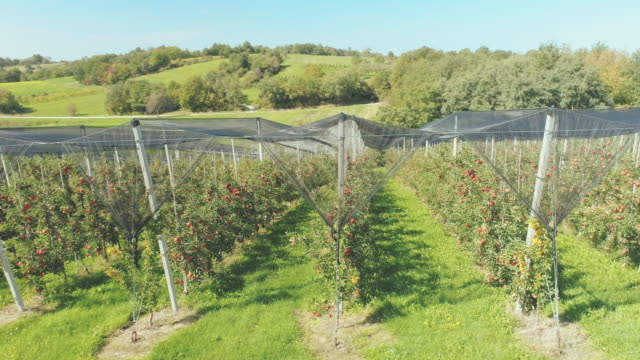 AERIAL Tree lined apple trees in the orchard