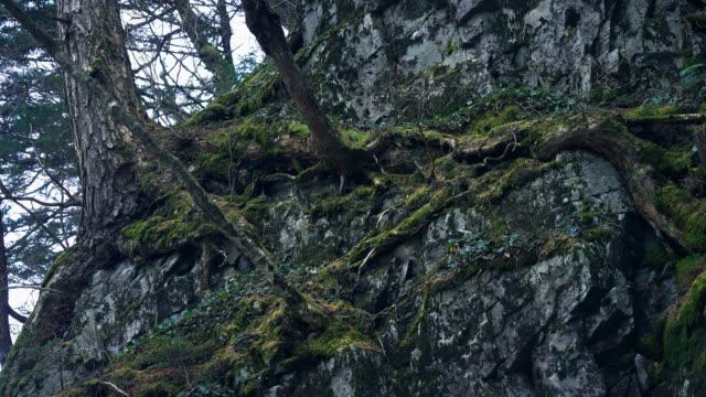 vídeos de stock, filmes e b-roll de árvore, vivendo sobre rochas - nagano