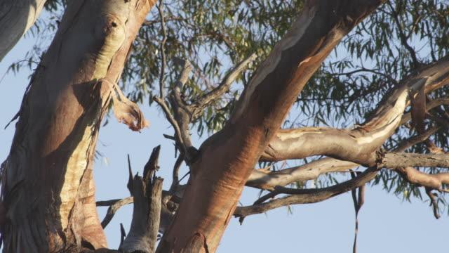vídeos y material grabado en eventos de stock de ms tree midsection leaves moving in wind / charles darwin reserve, western australia, australia   - bush land