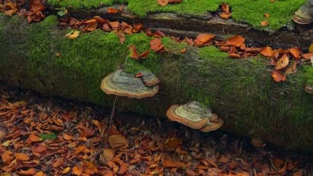 tree mushrooms on deadwood, freudenburg, rhineland-palatinate, germany, europe - rhineland palatinate stock videos & royalty-free footage