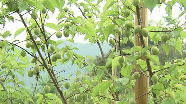 tree of japanese apricot with fruits, tokyo, japan - unripe stock videos and b-roll footage
