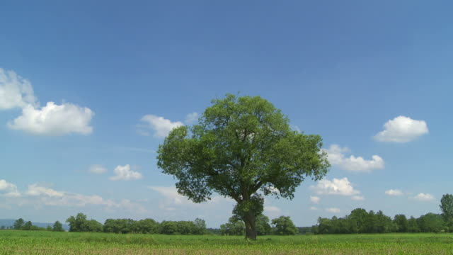 HD Tree on green field (time lapse)