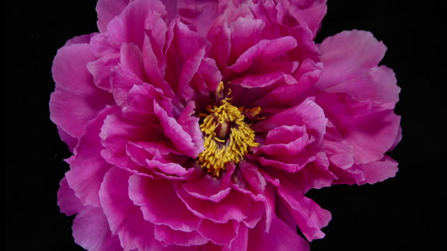 a tree peony flower blossoms and changes colour from red to purple as it opens - single flower stock videos & royalty-free footage