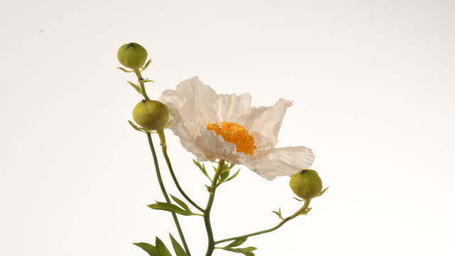 tree poppy, romnea coulteri white flower opens to reveal yellow pompom of stamens time lapse - オニゲシ点の映像素材/bロール