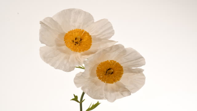 tree poppy, romnea coulteri white flowers opening to reveal yellow pompom of stamens time lapse - white background stock videos & royalty-free footage