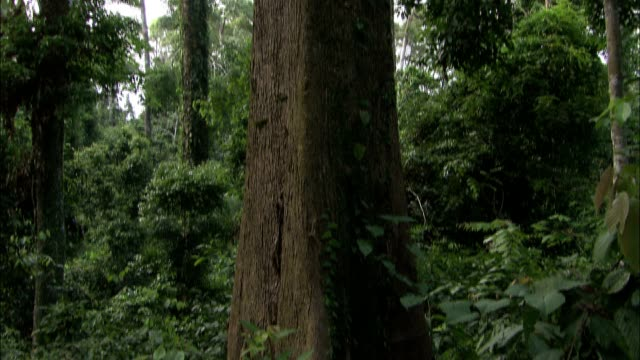 a tree reaches into a jungle canopy. - tree canopy stock videos & royalty-free footage