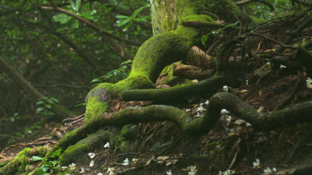 tree roots covered in moss, slow detailed panning shot - root stock videos & royalty-free footage