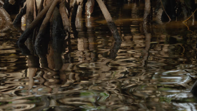 """tree roots reflected on water in mangrove swamp, belize - """"bbc natural history"""" stock videos & royalty-free footage"""