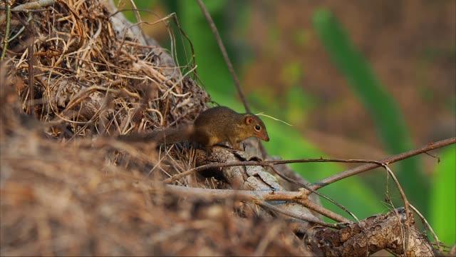 stockvideo's en b-roll-footage met tree shrew or tupaia glis sitting on tree trunk. little animal is like a squirrel in thailand forest - neus van een dier