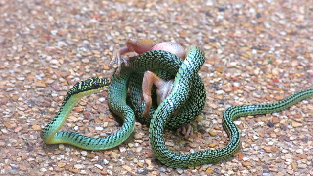 Tree Snake eating Bull Frog in Epic battle for survival.  This footage highlights particular strategies adopted by animals in the wild for their success and survival.