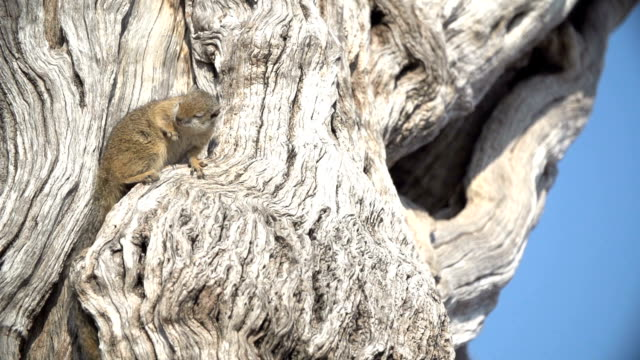 tree squirrel grooms itself in slow motion on a dead leadwood tree in kruger national park, south africa - roditore video stock e b–roll