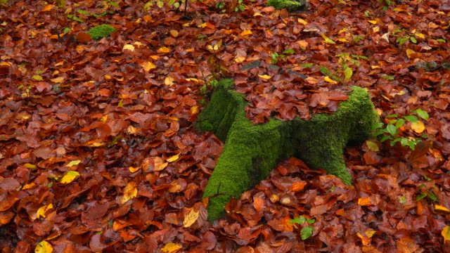 tree stub and autumnal foliage in forest - moss stock videos & royalty-free footage