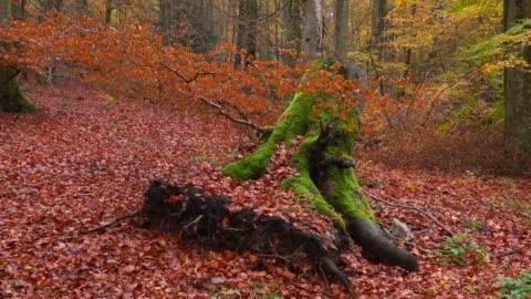 tree stump in autumnal forest, freudenburg, rhineland-palatinate, germany, europe - baumstumpf stock-videos und b-roll-filmmaterial