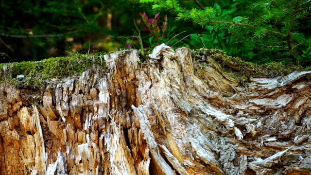 tree stump in forest - pinaceae stock videos & royalty-free footage