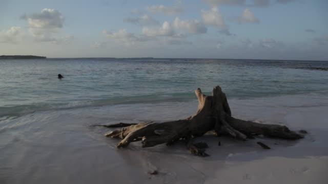 Tree Stump & Lapping Waves at Dusk, Long Bay, Antigua, Caribbean