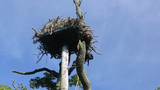 tree surgeon handling an osprey chick that was removed from the nest so that they chicks could be ringed and fitted with satelite radio trackers so... - bird of prey stock videos & royalty-free footage