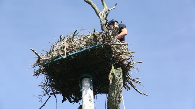 tree surgeon returning an osprey chick to its nest after it was ringed and fitted with satelite radio trackers so its migration pattern could be... - bird of prey stock videos & royalty-free footage