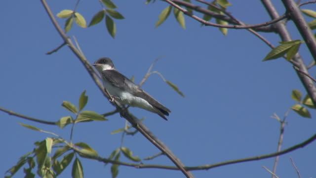 vídeos de stock, filmes e b-roll de tree swallow 3  1080/60i - ramo parte de uma planta