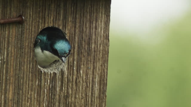 Tree Swallow Chirping in Birdhouse
